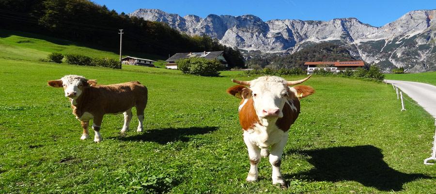 Berchtesgadenerland cows